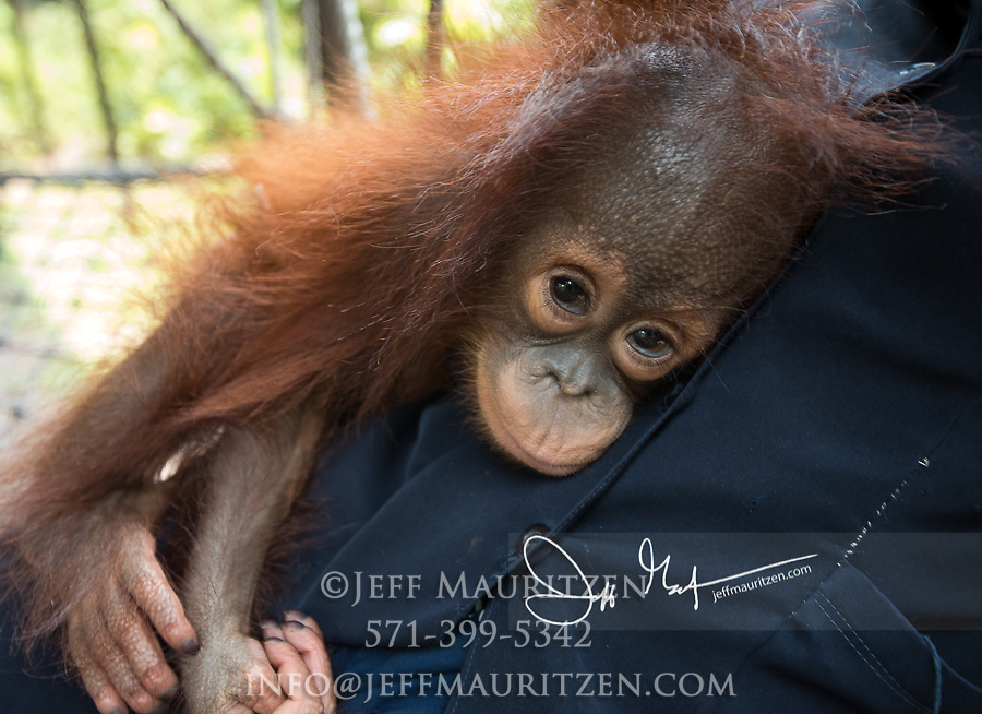 An infant orpahned Bornean orangutan, Pongo pygmaeus is cared for by humans at the Orangutan Care Center, Orangutan Foundation International in Borneo, Indonesia.