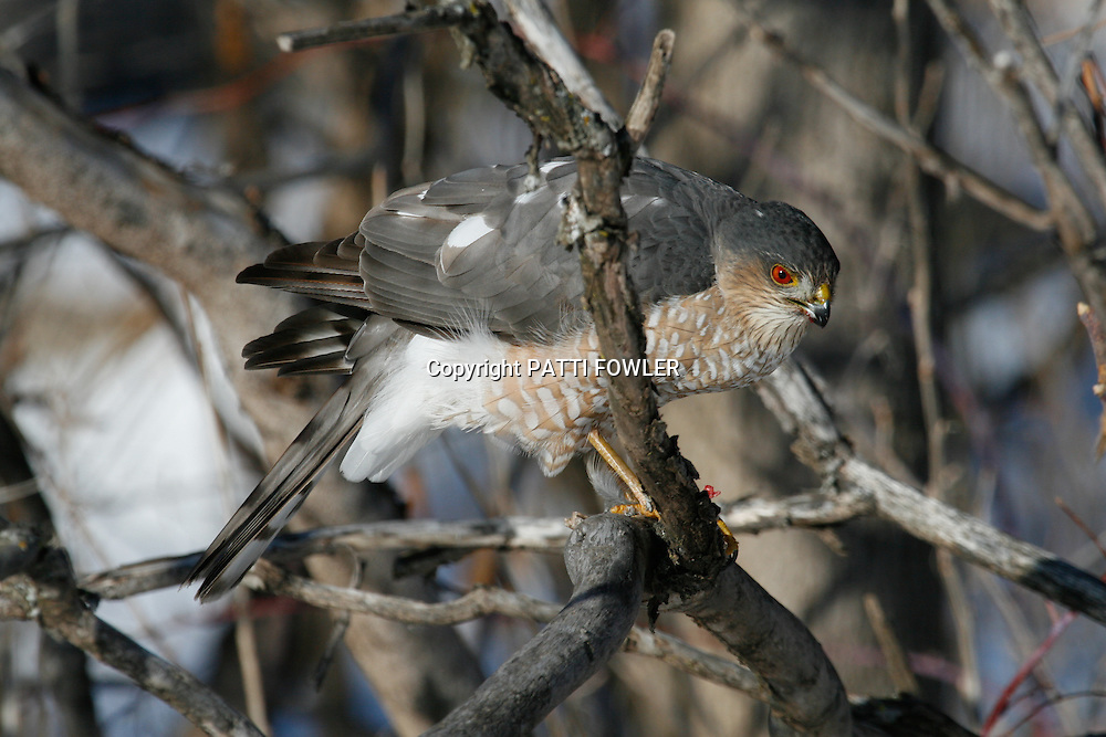 Sharp-shinned hawk after a kill