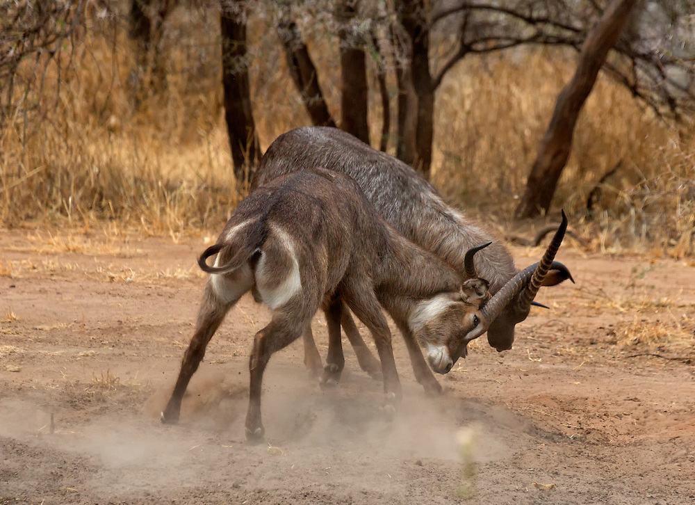 Waterbucks (Kobus ellipsiprymnus) sparring, Tarangire National Park; Tanzania; Africa
