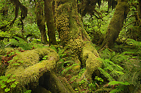 Hoh Rain Forest Olympic National Park