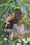 Brown-throated Three-toed Sloth <br /> Bradypus variegatus<br /> Males fighting<br /> Limon, Costa Rica