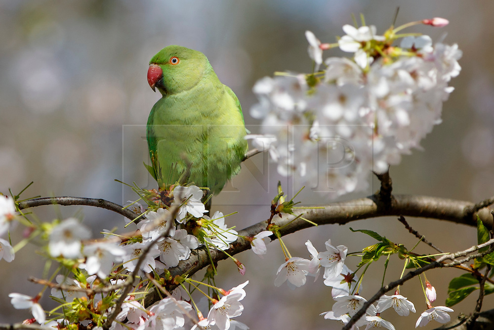 © Licensed to London News Pictures. 07/04/2015. LONDON, UK. A Parakeet is on a white blossom tree in St James's Park in London on Tuesday, 7 April 2015 as temperature hits 17C. Photo credit : Tolga Akmen/LNP