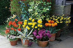 Arrangement of terracotta pots in front of the porch at Great Dixter. Agave americana 'Marginata', Cerinthe major 'Purpurascens', Pseudopnex lessonii 'Gold Splash', hyacinths, tulips and narcissi