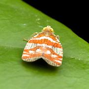 Lophoidae Planthopper in Kaeng Krachan National Park, Thailand.