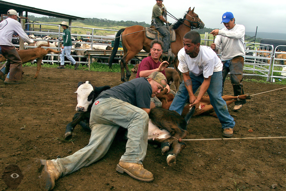 Eric Watanabe, Joseph Kuahiwinui and  Daelen Decoito team up to keep down a big, energetic calf needing branding at the Kuahiwi Ranch somewhere in the higher country above the town of Naalehu on the southern part of the Big Island, Hawaii.