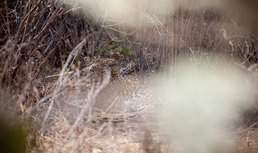 Leopard in Ruaha National Park, Tanzania