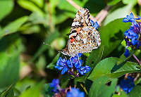 "Painted Lady butterfly (Vanessa cardui) this butterfly is the most widlely distributed butterfly in the world.  It can be found in every continent execpt Australia and Aantarctica.  The butterfly prefers warmer climates, but often migrates to cooler regions in the spring and fall.  The painted lady is concidered a ""irruptive migrant"", meaning it dose not migrate according to any seasonal or geographic patterns."