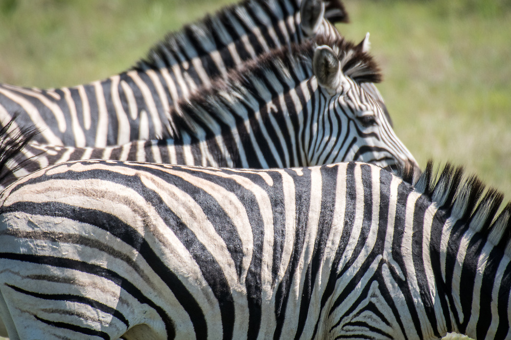 A close up shot of a group of zebra standing in a line in Hwange National Park. Hwange, Zimbabwe.