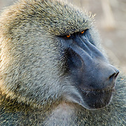 An Olive Baboon (Papiocynocephalus anubis) male in Tarangire National Park, Tanzania.