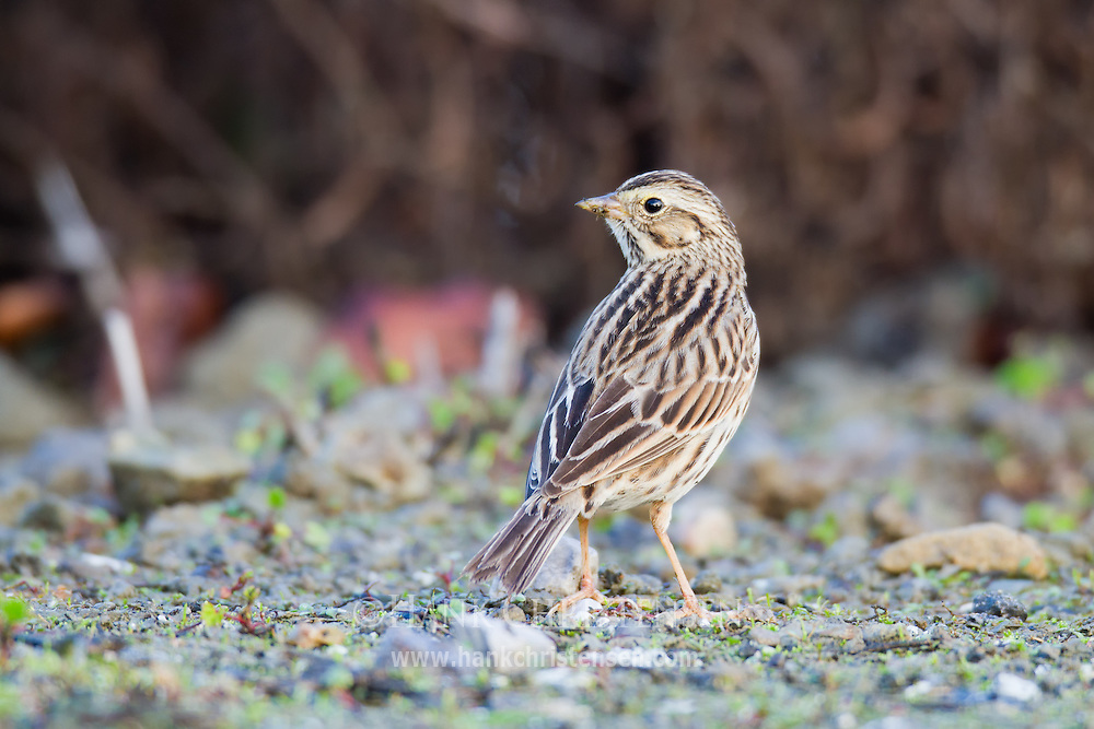 A savannah sparrow pecks the ground as it searches for food