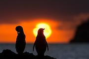 The Galapagos Penguin is a penguin endemic to the Galapagos Islands. It is the only penguin that lives north of the equator in the wild. With fewer than 2000 individs in the world, this species is endangered   Galapagospingvinen er unik for Galapagos, og den eneste ville pingvinen nord for ekvator. Men mindre enn 2000 individer på verdensbasis, er denne arten utrydningstruet.