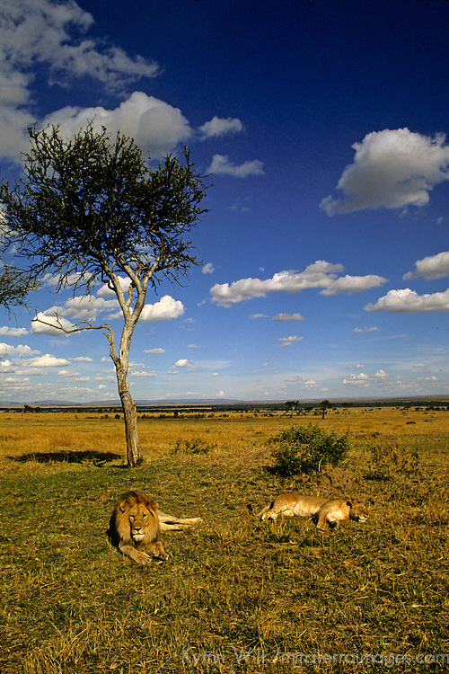 Africa, Kenya, Maasai Mara. A pair of lions rest in the vast African landscape.