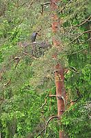 Black Stork nest; Ciconia nigra, Latvia