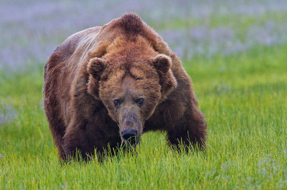 Coastal Brown Bears boar in the meadow, Lake Clark National Park, Silver Salmon Creek, Alaska