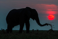 African elephant feeding on the banks of the Chobe River at dusk, Chobe River, Kasane, Botswana.