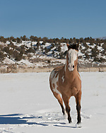 Tri-colored dun Paint horse in fresh snow, turning toward camera, © 2009 David A. Ponton [Prints to 8x10, 16x20, 24x30, or 40x50 in. with no cropping]