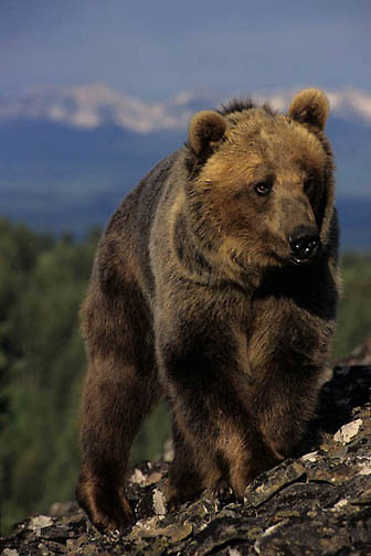 Grizzly Bear, (Ursus horribilis) Montana. Grizzly bear in foothills.  Captive Animal.