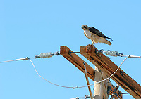 Red-tailed Hawk (Buteo jamaicensis) perched on power pole, Sand Wash Basin,  , Colorado, USA   Photo: Peter Llewellyn