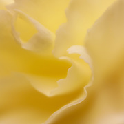 Macro floral image of a yellow carnation.