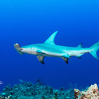 A great hammerhead shark (Sphyrna mokarran) swims along a coral wall in the Exuma Cays Land and Sea Park.