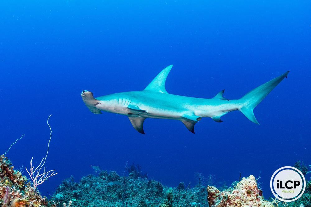 A great hammerhead shark (Sphyrna mokarran) swims along a coral wall in the Exuma Cays Land and Sea Park.