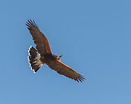 Harris's hawk flys close overhead, carrying part of a bird in its beak, blue sky background, © 2012 David A. Ponton