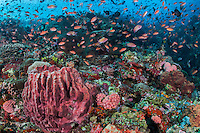 Barrel Sponge and clouds of Anthias<br /> <br /> Shot in Indonesia