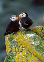 pair of horned puffin, Fratercula corniculata, kissing, St. George Island, The Pribilofs, Alaska, Pacific Ocean