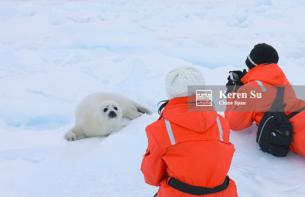 Tourist photographing Harp Seal pup on ice, Iles de la Madeleine, Canada