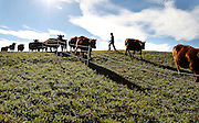 Beef cattle are herded to a new pasture by student Keifer Thomas at the Mountain School