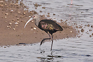 White-faced Ibis photos