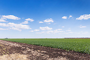 Green early wheat crop  field under blue sky with cumulus clouds near Jimbour Queensland, Australia <br />