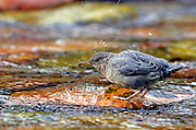 American dipper feeding on aquatic insects in the Spotted Bear River. From my 2013 Artist-in-Wilderness Connection program residency run by the Flathead National Forest, Hockaday Museum of Art, Bob Marshall Wilderness Foundation and the Swan Ecosystem Center. Flathead Naitonal Forest, northwest Montana.