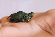 QINGDAO, CHINA - JUNE 20: (CHINA OUT) <br /> <br /> Newborn Turtle Has Two Heads<br /> <br /> Photo shows a newborn turtle who has two heads on June 20, 2013 in Qingdao, Shandong Province of China. <br /> ©Exclusivepix