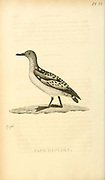 Cape petrel (Daption capense), listed here as Cape Daption from the 1825 volume (Aves) of 'General Zoology or Systematic Natural History' by British naturalist George Shaw (1751-1813). Shaw wrote the text (in English and Latin). He was a medical doctor, a Fellow of the Royal Society, co-founder of the Linnean Society and a zoologist at the British Museum. Engraved by Mrs. Griffith