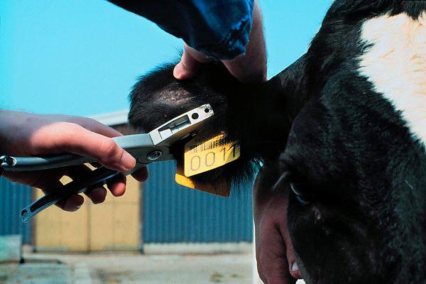 Nederland,Wansum, 15-08-1994..Oormerk voor koeien wordt in het oor geplaatst...Foto: Flip Franssen/Hollandse Hoogte