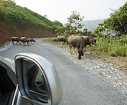 Encounter with a herd of water buffaloes on the road from Sinho to Chan Nua.