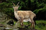 Deu, Deutschland: Steinbock (Capra ibex), im Wald, Lebensraum: Alpen, Steinwasen-Park Oberried, Baden-Württemberg | DEU, Germany: Alpine Ibex (Capra ibex) in a forest, habitat: European Alps, Steinwasen-Park, Oberried, Baden-Wuerttemberg |