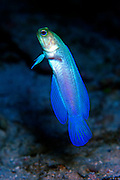 UNDERWATER MARINE LIFE CARIBBEAN, FISH: Yellowhead jawfish; Opisthognathus species