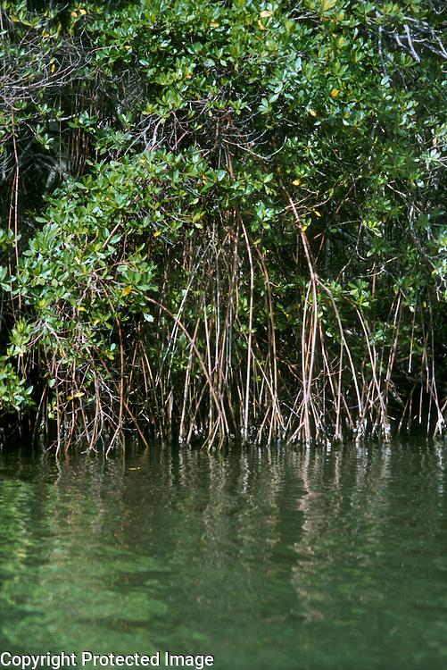 Stilt roots of red mangrove Rhizophora mangle (Rhizophoraceae) in mangrove forest, Falcon State, Venezuela.