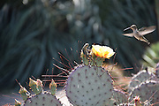 Photo hummingbird, lizard, cactus flower, matted print, wall art. California nature, garden, photography. Santa Monica, Westside, Venice, Los Angeles, Fine art photography limited edition.