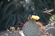 A hummingbird in flight looking at a lizard on a cactus with a yellow flower. San Marino, CA 4.20.14