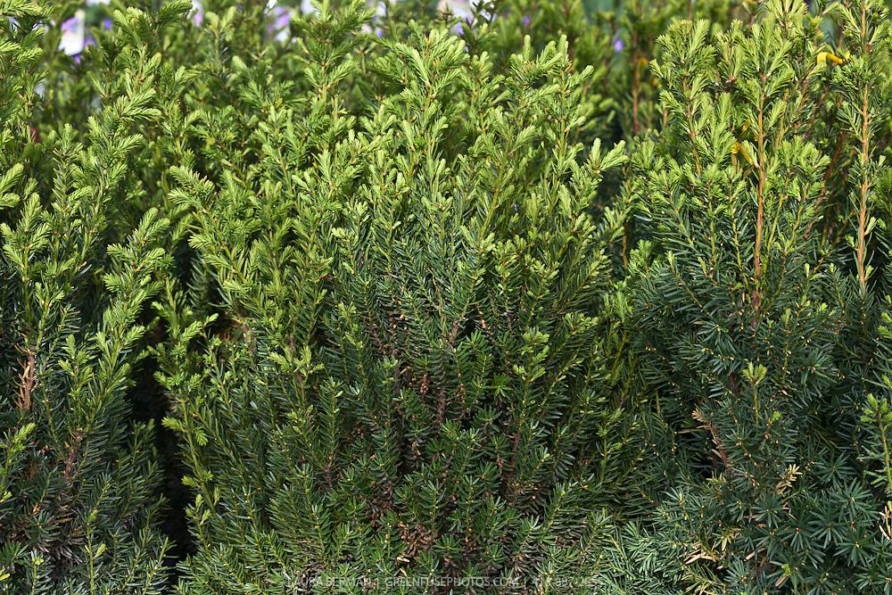 "Hick's yew hegde (Taxus media 'Hicksii"")"