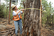Professor Carol Chambers, School Of Forestry at Northern Arizona University, measures the circumference of an old ponderosa snag that CJ, a trained wildlife detector dog, identified as having a bat roost inside. Coconino National Forest, Arizona.