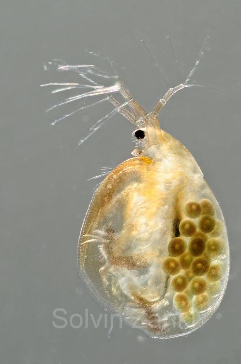 [captive] Female water flea (Daphnia magna) with eggs [Digital focus stacking] Germany | [Digital focus stacking] Grosser Wasserfloh (Daphnia magna) weiblich mit Eiern, Durchlichtaufnahme, Deutschland