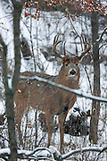 Whitetail buck in habitat