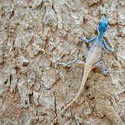 Male Blue Crested Lizard, Calotes mystaceus, in Ratachaburi, Thailand.
