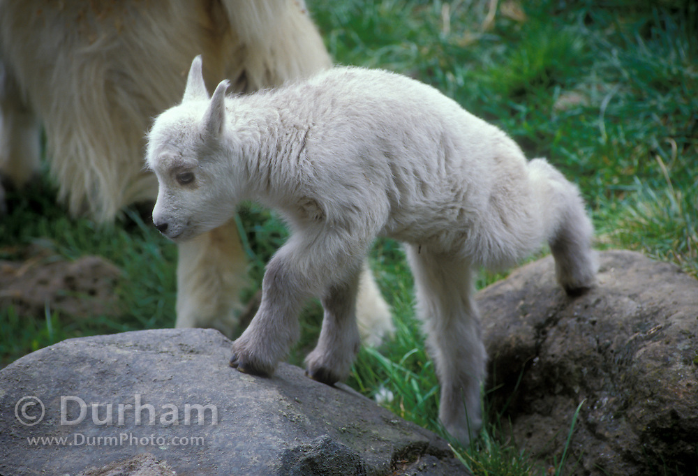 A mountain goat kid (Oremanos americanus), not more than two or three days old, already has substantial ability to negogiate the rough terrain of Glacier National Park, Montana.