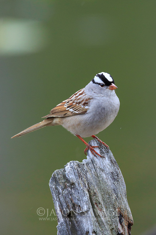 White-crowned Sparrow, Yellowstone National Park.
