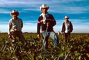 MEXICO, AGRICULTURE, SINALOA corn on the rich Pacific coastal plain